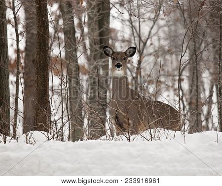Scenic Winter Landscape As A White-tailed Deer Doe Emerges From The Forest.