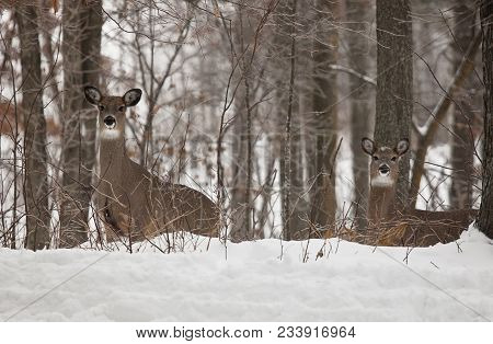 Scenic Winter Landscape Of White-tailed Deer Emerging From The Forest.