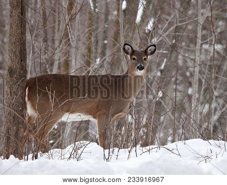 Close Up Image Of A White-tailed Deer In A Winter Scene.  Winter In Wisconsin.