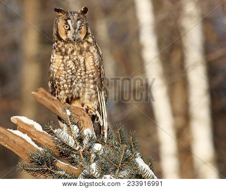 Horizontal, Close Up Image Of A Long-eared Owl Perched On A Branch.