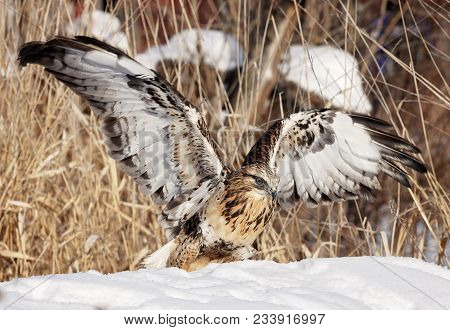 Close Up Image Of A Rough Legged Hawk With Wings Spread, In Winter.