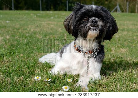Dog Sits Attentively On The Meadow In Front Of Daisies - Eye Level