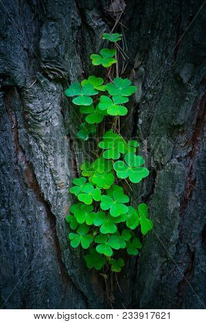Photo Depicts A Pine Tree Trunk With A Trefoil Clover Growing On It. Lucky Green Shamrock On The Tre