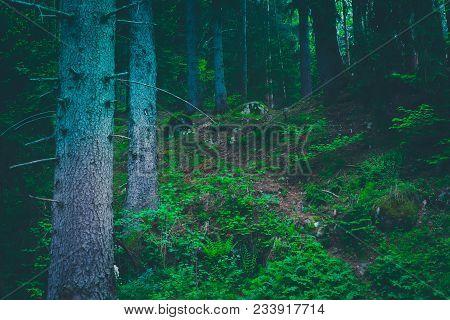 Mixed Greenwood Forest. Photo Depicting Dark Misty Evergreen Pine Tree Backwoods. Summertime.