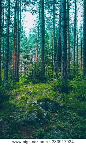 Mixed Greenwood Forest. Photo Depicting Dark Misty Evergreen Pine Tree Backwoods. Summertime.