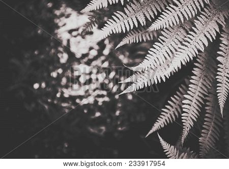Beautiful Fern Leaves Background. Exotic Fern Frond Leaf Texture In The Forest Close Up, Macro View.