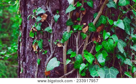 Photo Depicts A Fairy Beautiful Branches Of Ivy Climbing Plant  With Leaves On A Pine Tree Trunk In