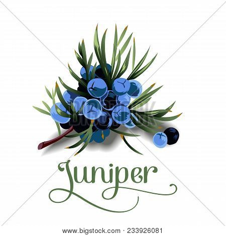 Juniper Berries For Lables, Posers, Postcards And Others