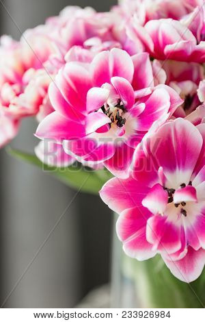 Tulips Of Pink And White Color Opened. Big Buds Of Multicoloured Tulips. Floral Natural Backdrop. Bi