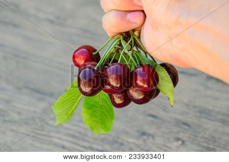 Berries Of A Sweet Cherry In A Hand On A Branch With Leaves. Ripe Red Sweet Cherry.
