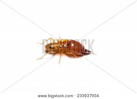 Closeup Big Termite Soldier Isolated On White Background