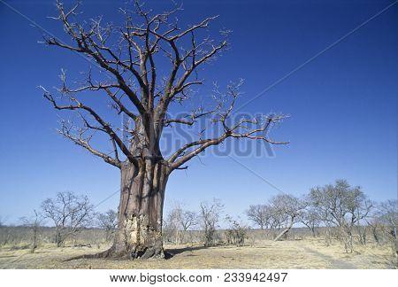 The Baobab Tree (adansonia Grandidieri), Zimbabwe, Africa