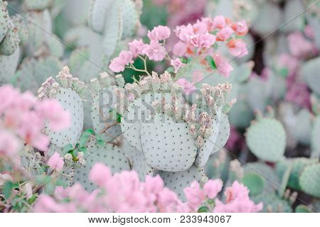 Soft Green Prickly Pear Cacti Image With Rare Soft Pink Flowers Framing Out The Sharp Lines Of The C