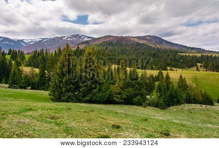 Spruce Trees On Grassy Hills In Carpathians. Lovely Springtime Scenery In Mountains On A Cloudy Day