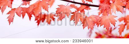 Canada Day Maple Leaves Background. Falling Red Leaves For Canada Day 1st July. Happy Canada Day Rea