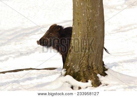Wild Boar Hiding Behind Tree ( Sus Scrofa ), Winter Season