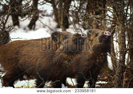 Curious Wild Boar Youngsters In Winter, Animals In Natural Habitat ( Sus Scrofa )
