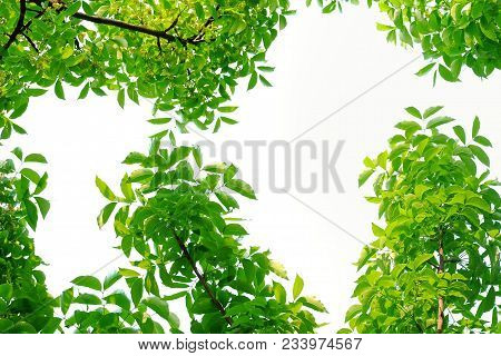 Top View Tropical Tree Leaves With Branches At The Botanical Park For Green Foliage Background