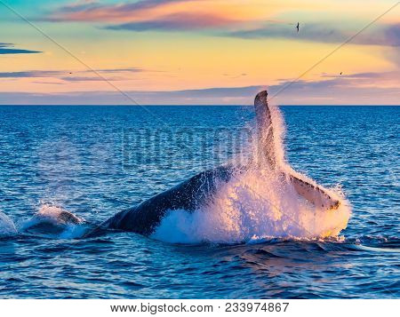 Humpback Whale Breaching In Deep Blue Sea At Iceland In The Morning