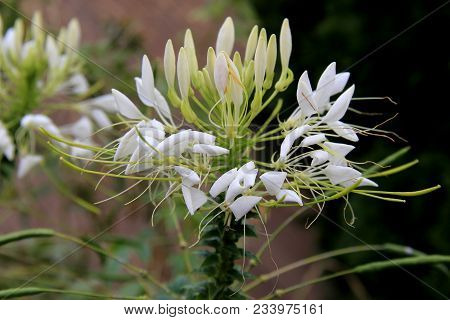 Beautiful White Petals On Large White Flower Set Atop Heavy Stalk Of Plant In Landscaped Garden.