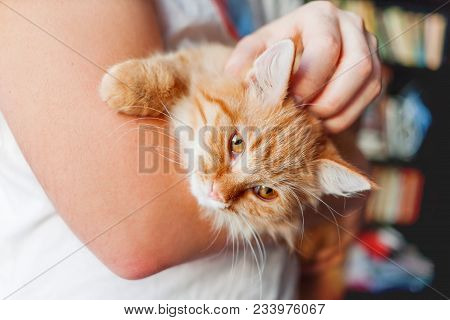 Man stroking a cute ginger cat. Fluffy pet frowning of pleasure. Cozy home background. Pet adoption. poster