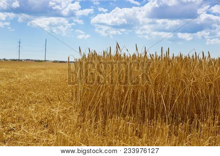 Wheat Field, Ears Of Golden Ripe Wheat, Harvesting, Sloping Wheat, Close-up