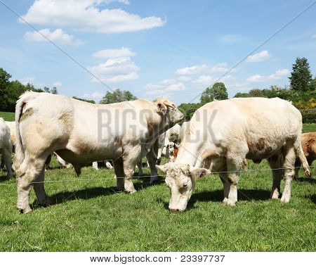 Charolais Bull And Cow Grazing