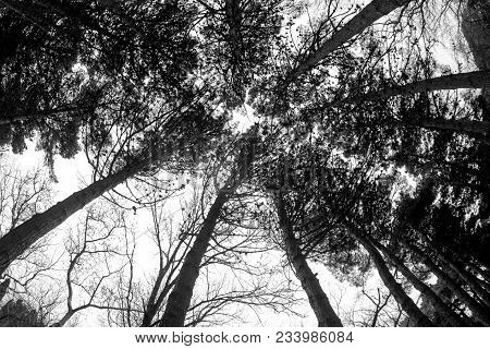 Fisheye View Of Dense Pine Tree Forest Looking Up. Cloudy Weather. Early Spring Time. Baku, Botanica