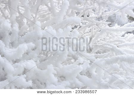 The Branches Of A Bush In Winter, Covered With Hoarfrost