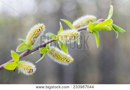 Willow Branch With Fluffy Catkins And Young Leaves In The Spring