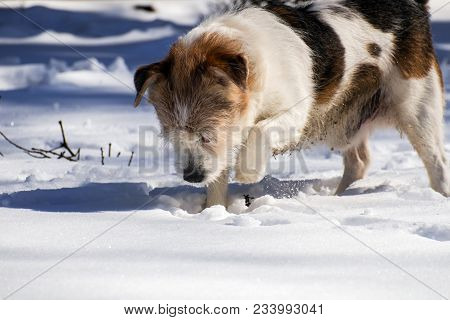 Mongrel Dog Digs Something In The Snow