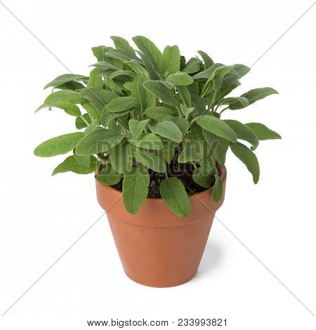 Brown terra cotta pot with fresh sage isolated on white background