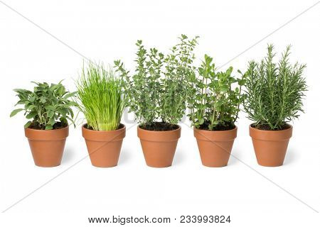 Row of brown terra cotta pots with fresh green kitchen herbs, sage,mint,rosemary,oregano and chives isolated on white background