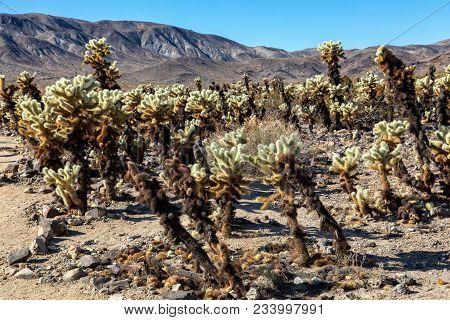 Close-up, Cholla Cactus Garden, Joshua Tree National Park