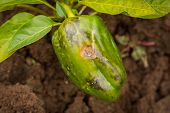Diseases Of Pepper. Close Up Of Green Pepper Stricken Vertex Rot With Leaves In Garden Top View. poster