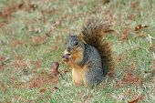 A hungry squirrel eating a delicious acorn. poster