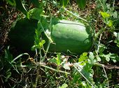 Watermelons in a garden ready to be picked poster