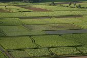 An aerial of rice and taro fields. poster