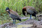 Two White Faced Whistling ducks at water hole with blurred background at Imfolozi Hluhluwe game reserve in Zululand, KwaZulu Natal in South Africa poster