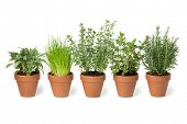 Row of brown terra cotta pots with fresh green kitchen herbs, sage,mint,rosemary,oregano and chives isolated on white background poster