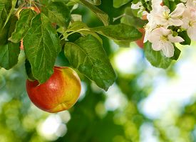 Image Of Apple Trees In The Garden Close-up
