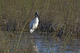 Wood Stork Foraging In The Everglades National Park, Florida, Usa.