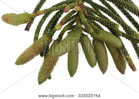 Norfolk Island Pine, Araucaria Heterophylla, Foliage And Cluster Of Elongated Male Cones During The
