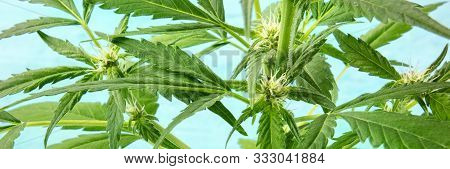 A Panorama Of Cannabis Buds In The Early Flowering Stage With White Stigmas On A Blue Background, Wi