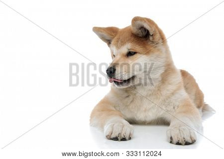 Clumsy Akita Inu licking its nose and looking for something while laying down on white studio background