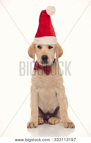 bored little santa claus labrador retriever puppy looks to side with indifference and no interest