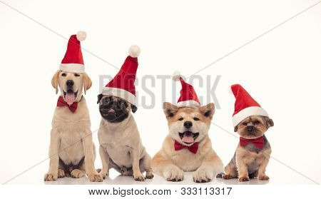 panting group of little santa claus dogs wearing christmas hats on white background