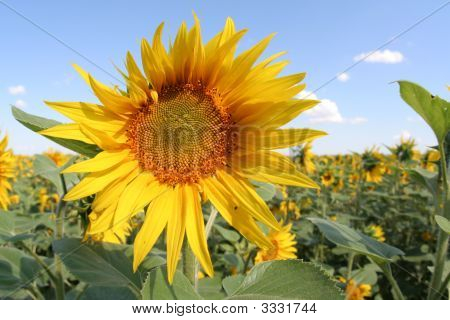 在字段上的向日葵