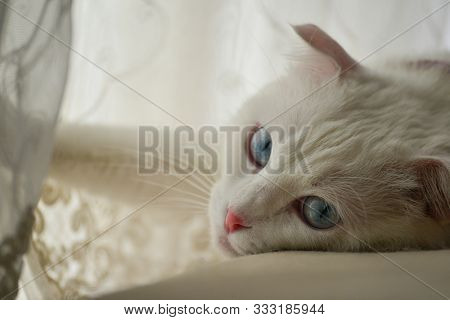 Cute white cat with blue eyes on a couch in natural window light