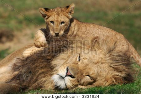Male Lion Playing With Cub